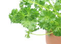 Parsley in a flowerpot pictured with isolated background Stock Photos