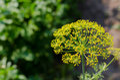 Parsley Flowers In The Garden