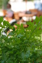Parsley in the foreground Royalty Free Stock Image
