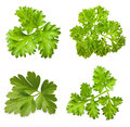 Parsley herb isolated Royalty Free Stock Photo