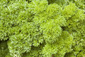 Parsley Herb Plant (Petroselinum crispum) Stock Images