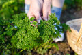 Parsley human hands harvesting fresh in the garden Stock Image