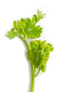 Parsley isolated in white background close up shot of Stock Photos