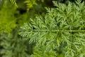 Parsley leaf (Petroselinum crispum) Royalty Free Stock Photo