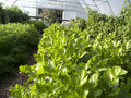 Parsley and other herbs in greenhouse Stock Photo
