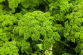 Parsley Petroselinum crispum Royalty Free Stock Photo