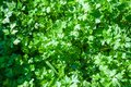 Parsley. Petroselinum. parsley leaves Royalty Free Stock Photo