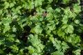 Parsley. Petroselinum. parsley leaves. Green leaves. Parsley gro Royalty Free Stock Photo