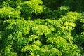 Parsley petrosileum crispum Royalty Free Stock Photo