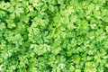 Parsley plant background fresh green Stock Photography