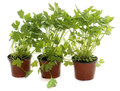 Parsley in pot Royalty Free Stock Photo