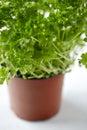 Parsley pot Royalty Free Stock Photo