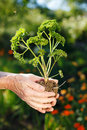 Parsley senior hands holding a little plant in soil Royalty Free Stock Photos