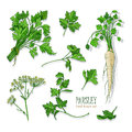 Parsley set. Hand drawn colorful collection with greens, bunch, leaf, root, flower. Vector illustration.