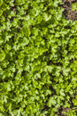 Parsley small garden petroselinum hortense Royalty Free Stock Image