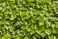 Parsley small garden petroselinum hortense Stock Photos
