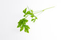 Parsley a sprig of on white background Stock Photo