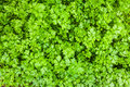 Parsley in sustainable garden on bed vegetable Royalty Free Stock Photo
