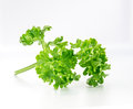 The parsley vegetable on white isolate background Stock Image