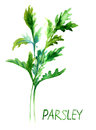 Parsley, watercolor illustration Royalty Free Stock Photography
