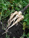 Parsnips Royalty Free Stock Photo