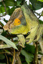 Parson's chameleon, marozevo Royalty Free Stock Photo