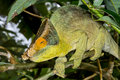Parson's chameleon, marozevo Royalty Free Stock Photography