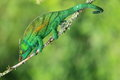 Parson chameleon Royalty Free Stock Photo