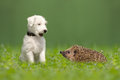 Parson Jack Russell Terrier and hedgehog Royalty Free Stock Photo