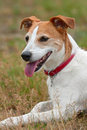Parson Jack Russell Terrier resting after a run Stock Image