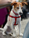 Parson Jack Russell Terrier, watching Stock Photography