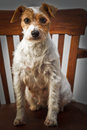 Parson russell terrier portrait Stock Photo