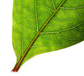 Part of green leaf isolated Royalty Free Stock Photo