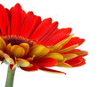 Part of red gerbera flower Royalty Free Stock Photo