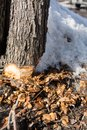 Part of the trunk of an ax-cut tree and chips around with snow
