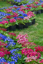 Parterre of cineraria flowers Stock Photos