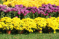 Parterre the close up of chrysanthemum flowers Royalty Free Stock Photography