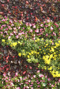 Parterre the close up of with chrysanthemum flowers and glass begonia Royalty Free Stock Images
