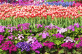 Parterre the scenery of with tulip and cineraria flowers Royalty Free Stock Photo