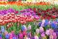Parterre the scenery of with tulip and hyacinth Stock Photos