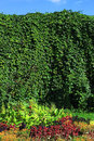 Parthenocissus high decorative wall of Stock Photo