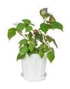 Parthenocissus Inserta Royalty Free Stock Photo