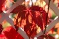 Parthenocissus quinquefolia Royalty Free Stock Photo