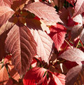 Parthenocissus quinquefolia Royalty Free Stock Photography