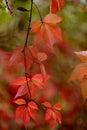 Parthenocissus quinquefolia leafs Royalty Free Stock Photo