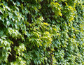 Parthenocissus tendril climbing decorative plant green wall of Royalty Free Stock Photography