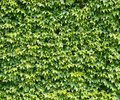 Parthenocissus tendril climbing decorative plant green wall of Royalty Free Stock Image