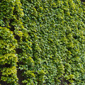 Parthenocissus tendril climbing decorative plant green wall of Stock Image
