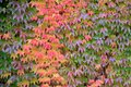 Parthenocissus tricuspidata, foliage Royalty Free Stock Photo