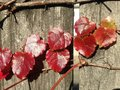Parthenocissus Tricuspidata Plant on a Wooden Fence in the Sun in the Fall. Royalty Free Stock Photo